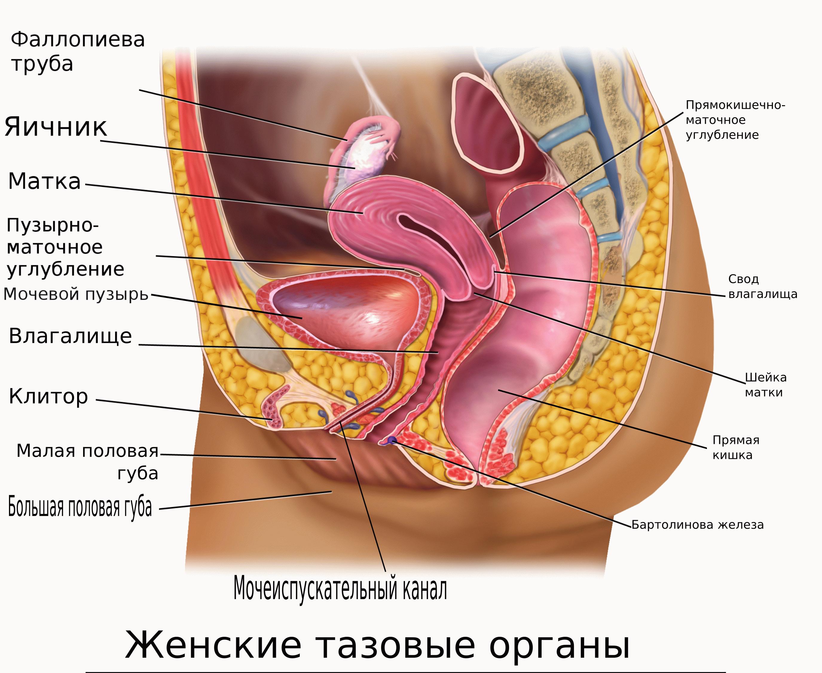 Органы таза